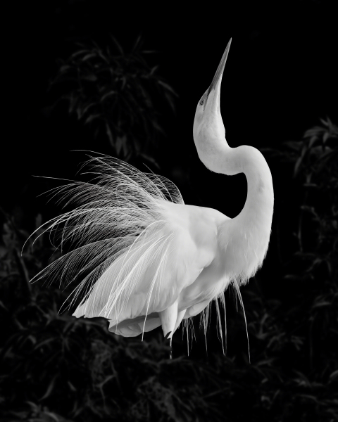 """Great Egret Mating Display"" by Dawn Currie - Alternate Substrates"